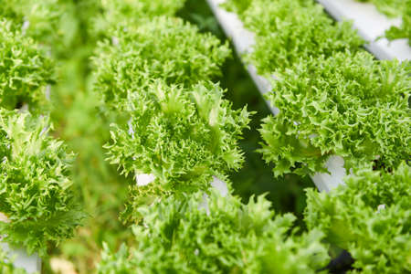 Hydroponic lettuce growing in garden hydroponic farm lettuce salad organic for health food, Greenhouse vegetable on water pipe with green coral lettuce