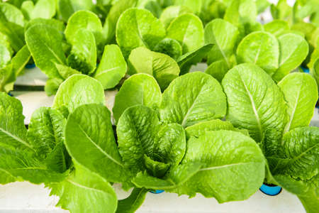 Hydroponic lettuce growing in garden hydroponic farm lettuce salad organic for health food, Greenhouse vegetable on water pipe with green cos lettuce 写真素材