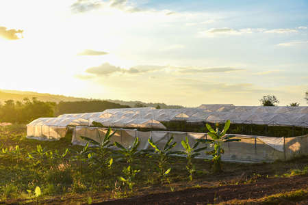 Greenhouse vegetable plants and fruit growing agricultural products roofs farming with sunset at countryside