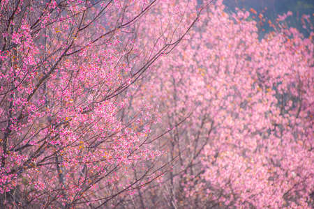 Wild Himalayan Cherry Blossom, beautiful pink sakura flower at winter landscape