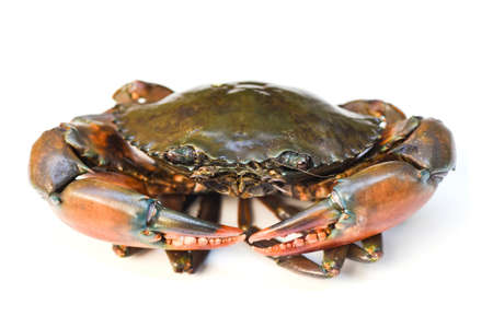 Crab isolated on white background, Fresh seafood serrated mud crab