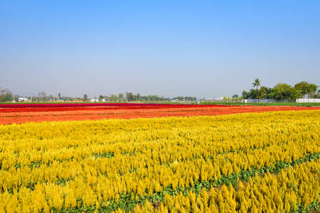 Colorful flower garden landscape flower field with yellow and red plant farm, Beautiful Celosia Plumosa flowers scenery summer
