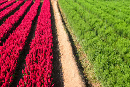 Flower garden landscape flower field with red and green plant farm, Beautiful Celosia Plumosa flowers scenery summer