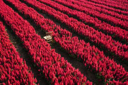 Red flower garden landscape flower field with plant farm, Beautiful Celosia Plumosa flowers scenery summer 写真素材 - 165808517