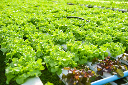 Greenhouse vegetable on water pipe with green oak, Hydroponic lettuce growing in garden hydroponic farm lettuce salad organic for health food