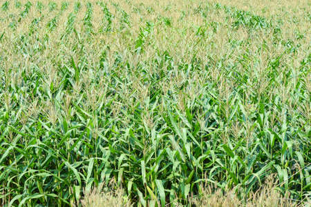 Green corn field, Corn cob on corn field in plantation agriculture Asian