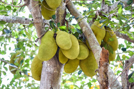 Jackfruit on jackfruit trees are hanging from a branch in the tropical fruit garden in summer Reklamní fotografie