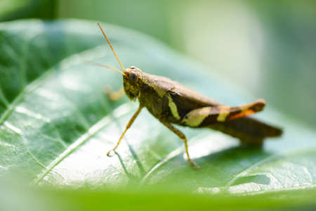 Brown grasshopper on green leaf nature background, insect macro grasshopper leaves