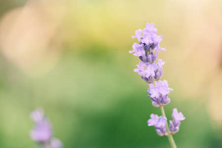 Lavender flower bloom in the lavender fields flower garden background, Close up purple flowers
