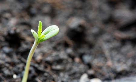 Marijuana seed natural small green hemp sprout seedling, cannabis seeds on soil background, close up of planting hemp seeding agriculture herbal medicine 版權商用圖片