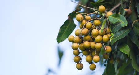 Longan orchards garden fruit on the longan tree, Tropical fruits in summer thailand Zdjęcie Seryjne