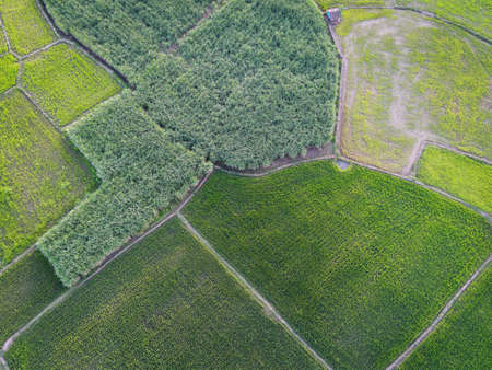 Aerial view field nature agricultural farm background, top view corn field and rice field from above with agricultural parcels of different crops in green colors