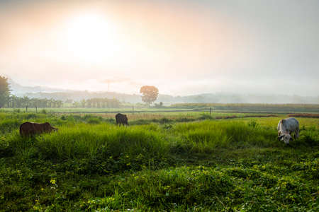 foggy landscape on green field in the morning, nature misty beautiful in the sunny foggy view and cows in field grazing cow at countryside