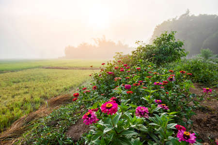 foggy landscape on green field in the morning, nature misty beautiful in the sunny foggy view with pink flowers