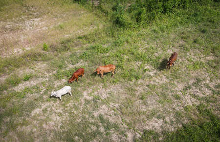 Aerial view fields and cow nature farm background, top view field from above with herd of cows grazing grass agricultural parcels of different crops in green, Birds eye  view countryside Asian Zdjęcie Seryjne