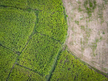 Aerial view field nature agricultural farm background, top view corn field from above with road agricultural parcels of different crops in green colors