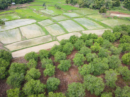 Aerial view of the tamarind green fields nature agricultural farm  background, top view tamarind tree and green rice fields asian from above of crops in green, Birds eye view tree Zdjęcie Seryjne