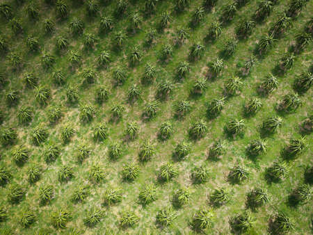 Aerial view of the dragon fruit green fields nature agricultural farm background, top view dragon fruit tree from above of crops in green, Bird's eye view tropical pitaya fruit tree Asian