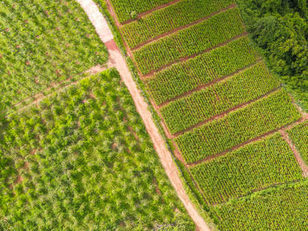 mixed plantation aerial view of the plowed field green nature agricultural farm background, top view ginger tree from above of crops in green, Bird's eye view harvest ginger plant farm orchard fruit