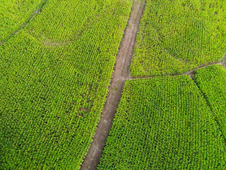 Aerial view field nature agricultural farm background, top view corn field from above with road agricultural parcels of different corn crops in green colors