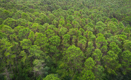 Aerial view forest tree environment forest nature background, Texture of green tree top view forest from above landscape bird eye view pine forest asian