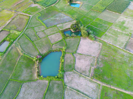 Aerial view of the green rice fields nature agricultural farm background, top view rice field from above with pathway agricultural parcels of different crops in green and water pond, Birds eye view