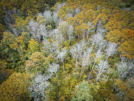 Aerial view forest tree environment forest nature background, Texture of yellow orange tree and dead tree top view forest from above landscape bird eye view pine forest Autumn Orange Rush