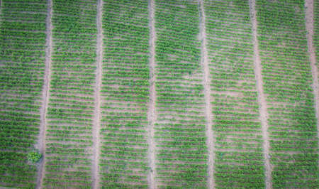 Aerial view of the plowed field  green nature agricultural farm background, top view ginger tree from above of crops in green, Bird's eye view ginger plant farm and harvest ginger root on mountain