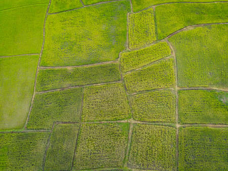 Top view rice field from above with pathway agricultural parcels of different crops in green, Aerial view of the green rice fields nature agricultural farm background, Birds eye view