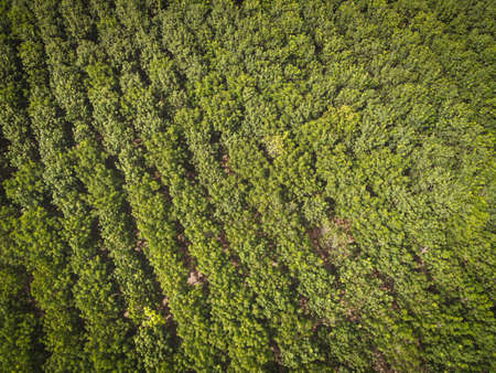 Aerial view forest tree rubber tree leaves environment forest nature background, Texture of green tree top view forest from above, rubber tree plantation