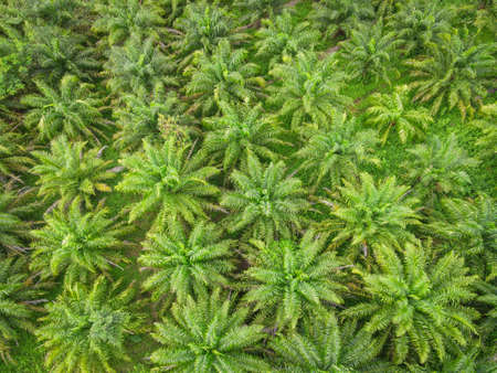 Aerial view of the palm tree green fields nature agricultural farm background, top view palm leaves from above of crops in green, Bird's eye view tropical tree plant