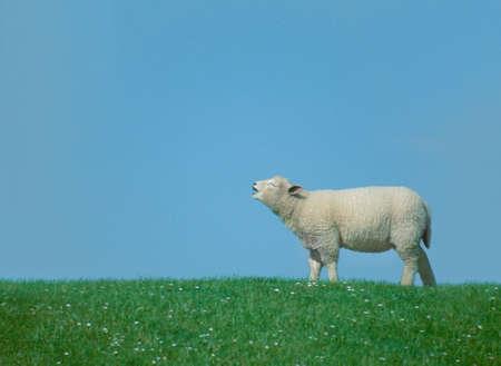 sheep farm: Calling lamb