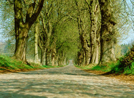 Avenue of old trees photo