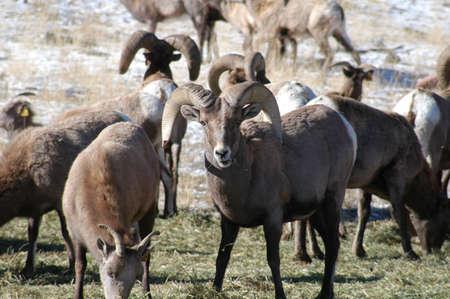 heard: big sheep heard Stock Photo