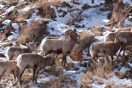 big horn sheep photo