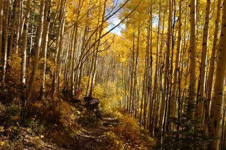 aspen forest path