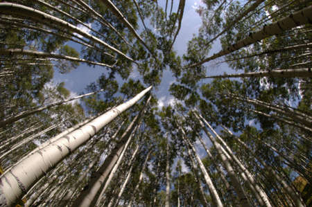 aspens looking up