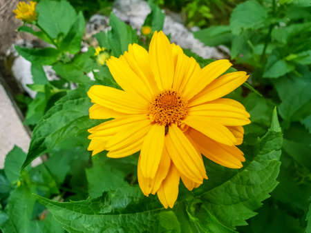Beautiful coreopsis blossom in the garden