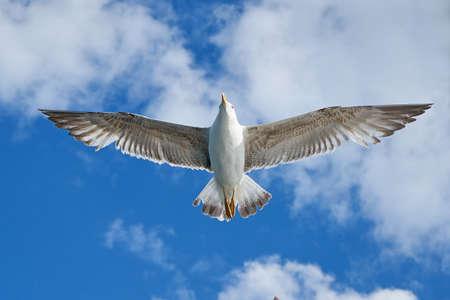 webbed foot: Seagull Stock Photo