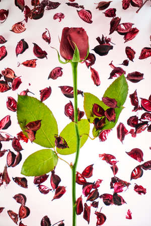Valentines day background with a stalk of red rose and rose petals Stok Fotoğraf