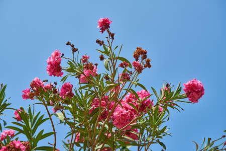 pink flowers in the garden Stok Fotoğraf