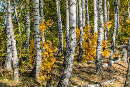 In the mixed birch-maple forest in autumn. Europe.
