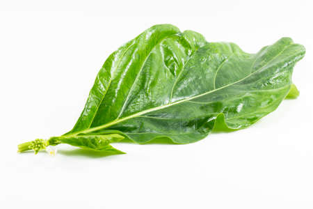 noni: Noni leaf isolated on white background.Noni fruit is herb and leaves used as food and etc.