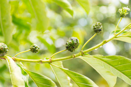 noni fruit: Noni fruit growing on tree on nature background.Fruit for health or herb for health.Outdoor view