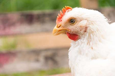 Chicken or Broiler chicken in animal welfare farm.Close up Stock Photo