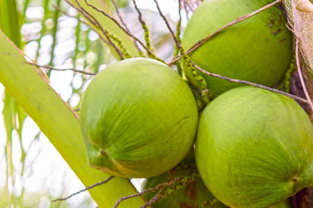 Cocunut cluster or coconut tree.Or fruit for health and summer. Stock Photo