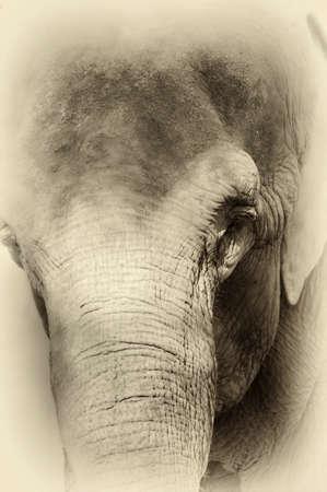 elephant nose: Elephant portrait