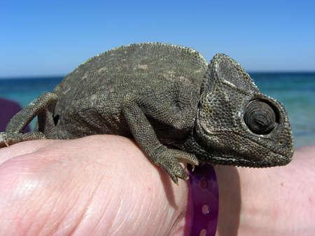 veiled: Chameleon Reptile