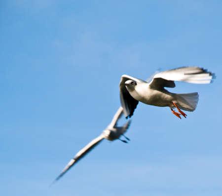 Seagulls in flight photo
