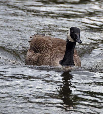 Canadian Goose, Swimming on a canal in England Stock Photo - 10523213